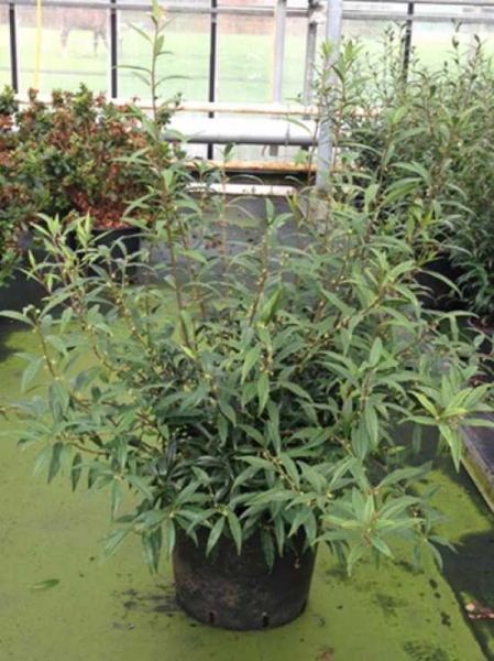 Sarcococca hookeriana 'Purple Stem' / Himalaya-Schleimbeere 'Purple Stem'