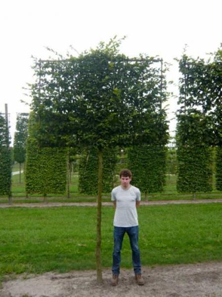 Carpinus betulus / Hainbuche / Weißbuche 'Hochstamm-Spalier' H:160 B:200 T:20 (Stamm 230 cm)
