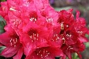 rhododendron-aeschbachers-rubin