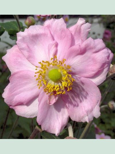Anemone japonica 'Königin Charlotte' / Herbst-Anemone 'Königin Charlotte'