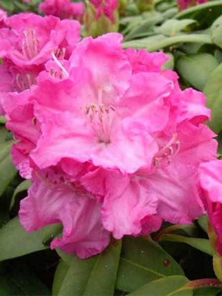 Rhododendron yakushimanum 'INKARHO Tatjana ®' / Rhododendron 'INKARHO Tatjana'