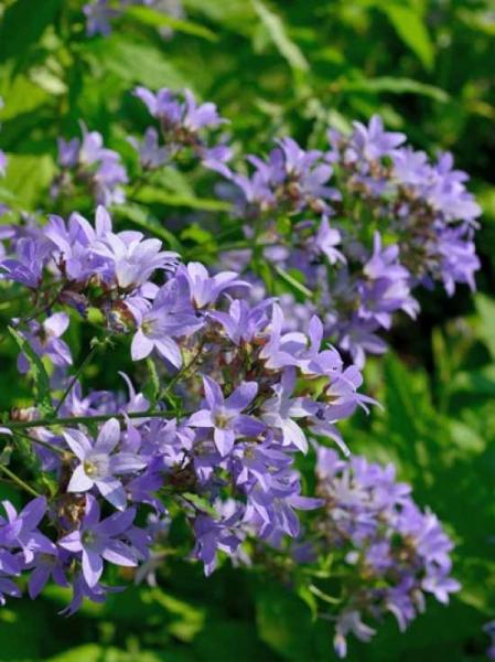 Campanula lactiflora 'Senior' / Dolden-Glockenblume