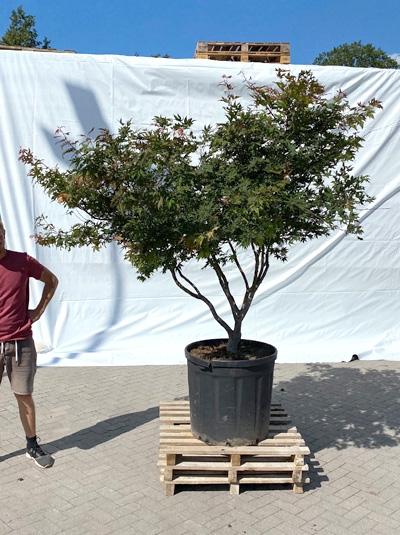 Acer palmatum 'Reticulatum Red' / Japanischer Fächerahorn 'Reticulatum Red' 175-200 cm (1217)