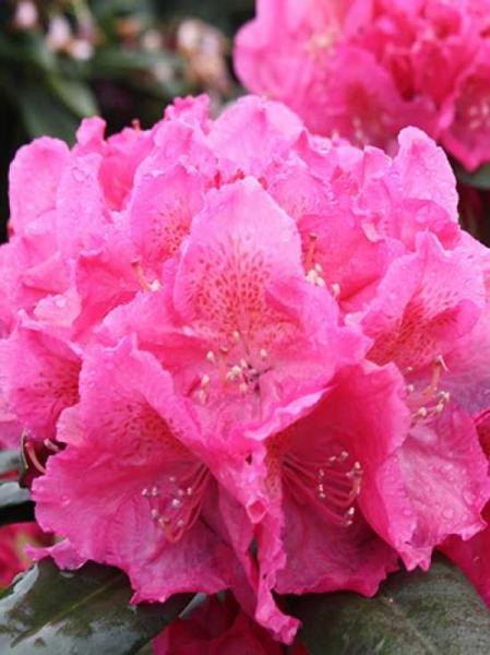 Rhododendron Hybride 'Bellevue ®' / Rhododendron 'Bellevue'