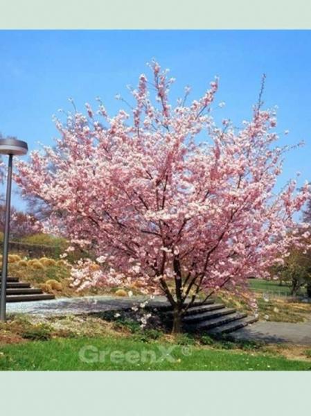 Prunus 'Accolade' / Frühe Zierkirsche 'Accolade' / Frühlingskirsche 'Accolade'