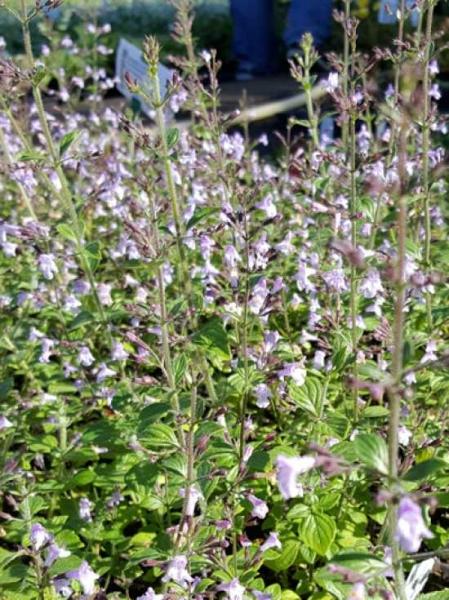 Calamintha nepeta 'Lila Riese' / Garten-Steinquendel 'Lila Riese' / Kleinblütige Bergminze 'Lila Riese'