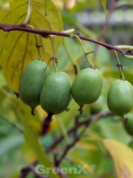 Actinidia arguta 'Issai' / Kiwi 'Issai'