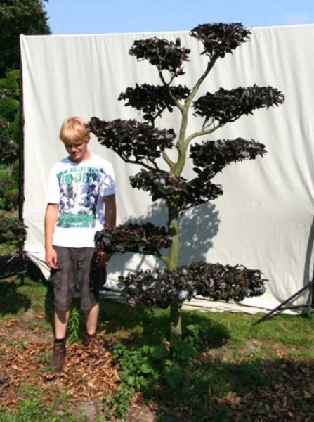 Fagus sylvatica 'Purpurea' H: 240 cm B: 120 cm / Garten-Bonsai (701103)