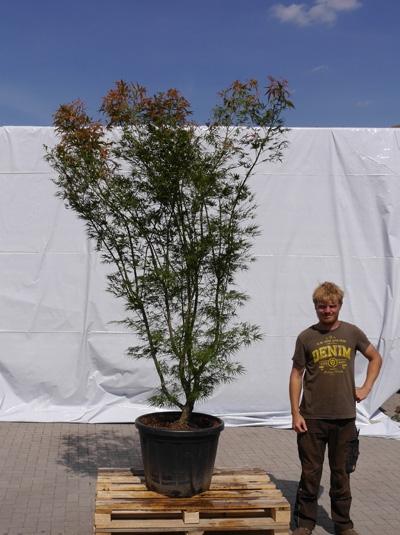 Acer palmatum 'Scolopendrifolium' / Japanischer Fächerahorn 200-250 cm (1126)