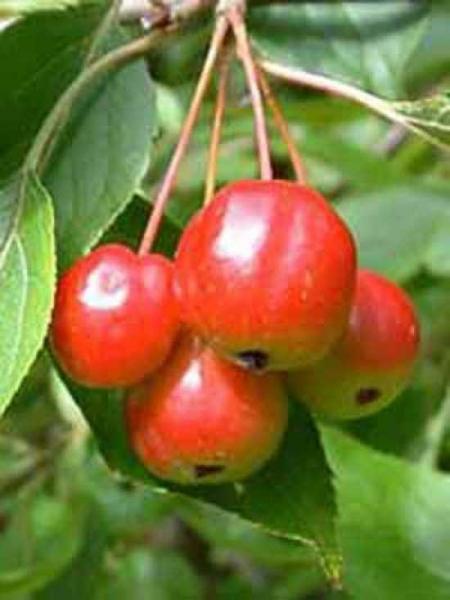 malus red sentinel apfelbaum 39 red sentinel 39 39 halbstamm spalier 39 100 x 150 x 20 stamm 100 cm. Black Bedroom Furniture Sets. Home Design Ideas