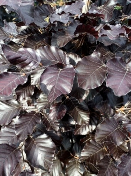 Fagus sylvatica 'Purpurea' / Blutbuche 40-60 cm wurzelnackt