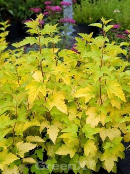 Physocarpus opulifolius 'Nugget' / Gelbblättrige Blasenspiere 'Nugget'