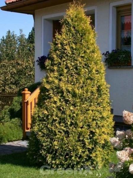 thuja occidentalis 39 sunkist 39 lebensbaum 39 sunkist 39 g nstig kaufen baumschule new garden. Black Bedroom Furniture Sets. Home Design Ideas