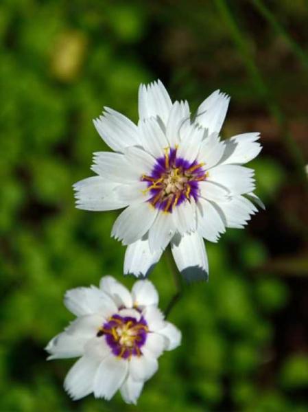 Catananche caerulea 'Alba' / Weiße Rasselblume