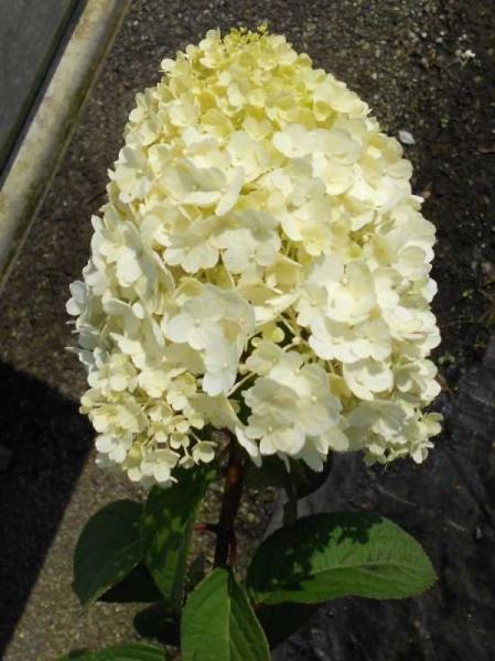Hydrangea Paniculata Bobo Rispen Hortensie Bobo Gunstig Kaufen