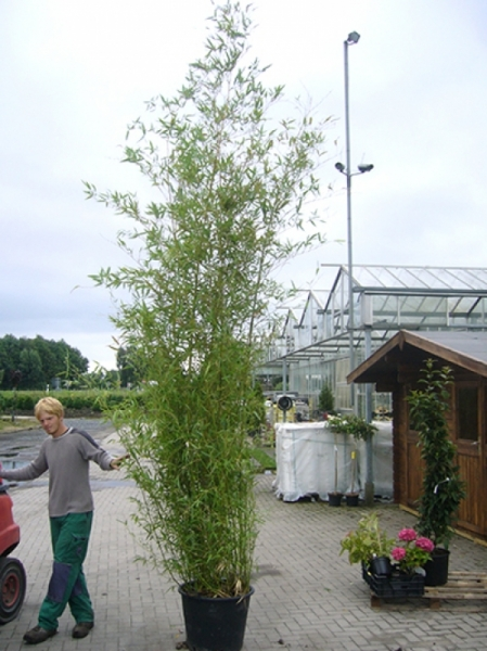 Phyllostachys viridiglaucescens / grüner Pulver Bambus 350-400 cm im 70-Liter Container