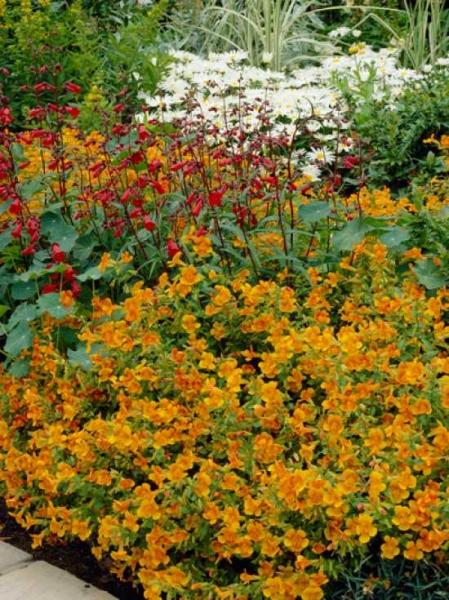 Mimulus 'Orange Glow' / Garten-Gauklerblume