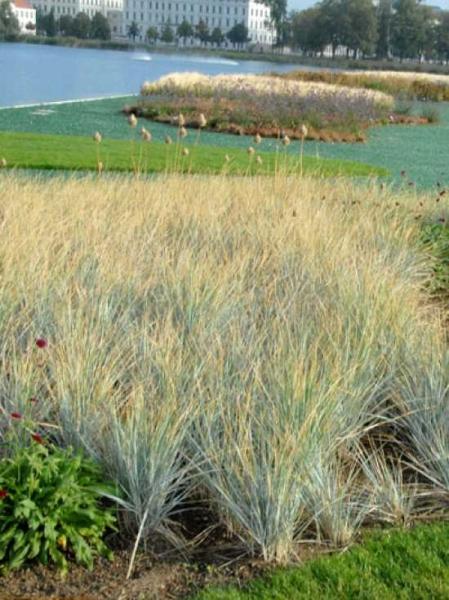 Agropyron magellanicum / Elymus magellanicus / Magellan-Blaugras