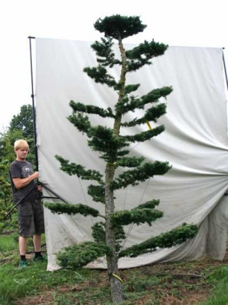 Larix decidua H: 300 cm B: 200 cm / Garten-Bonsai (801117)