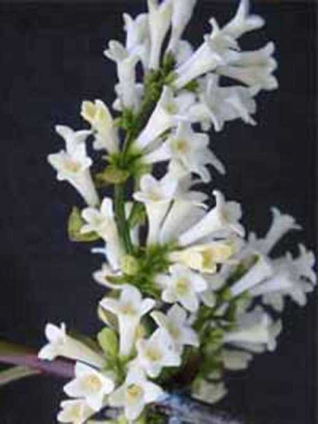 Syringa pinnatifolia / Fiederblättriger Flieder