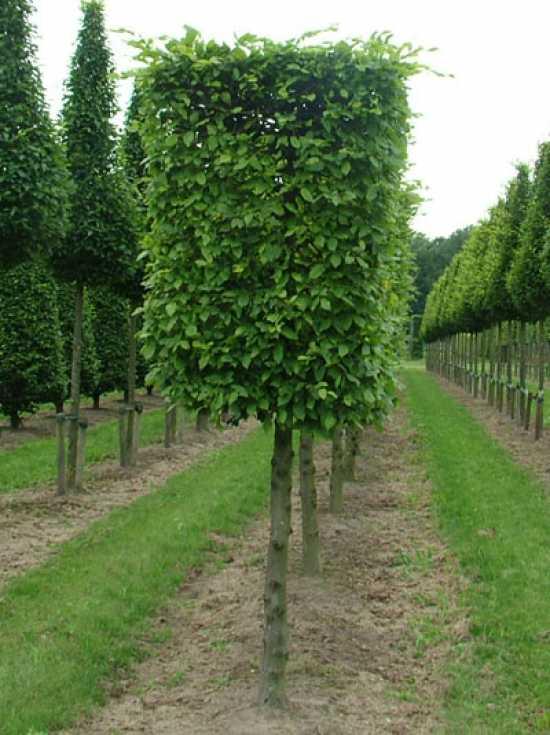 Carpinus betulus 39 kubus 39 hainbuche h 125 b 100 t 100 cm 125 cm stamm g nstig kaufen for Gartenbrunnen kugel