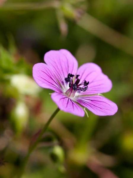 Geranium wallichianum 'Pink Penny ®' / Garten-Storchschnabel