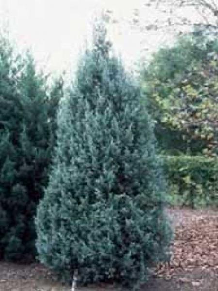 Juniperus virginiana 'Glauca' / Virginischer Blau-Wacholder