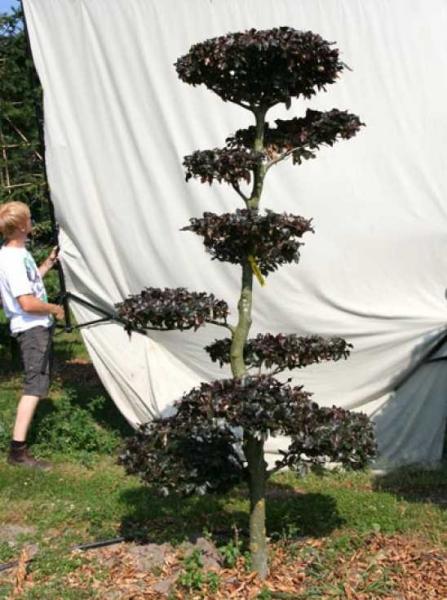 Fagus sylvatica 'Purpurea' H: 230 cm B: 120 cm / Garten-Bonsai (701115)