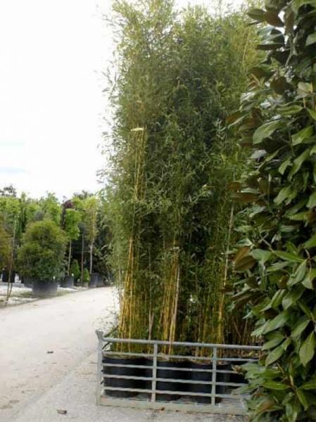 Phyllostachys aureosulcata / grüner Bambus 350-400 cm im 100-Liter Container