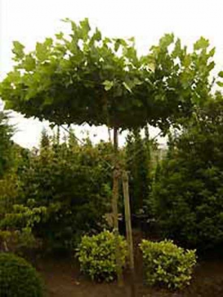 platanus acerifolia 39 dachform sternform 39 platanus acerifolia 39 dachspalier 39 dach platane. Black Bedroom Furniture Sets. Home Design Ideas
