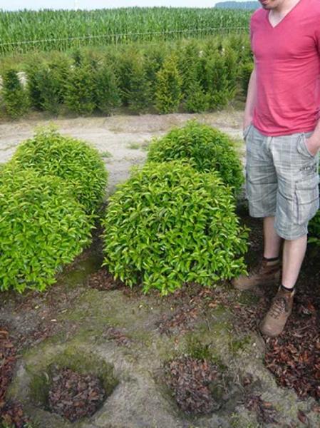 Prunus lusitanica 'Angustifolia' Kugel / Portugiesischer Kirschlorbeer 'Kugel' 60-70 cm Solitär mit Ballierung