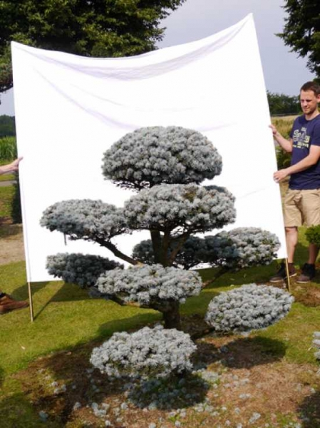 Picea pungens 'Glauca' H: 160 B: 170 cm / Garten-Bonsai (0002)