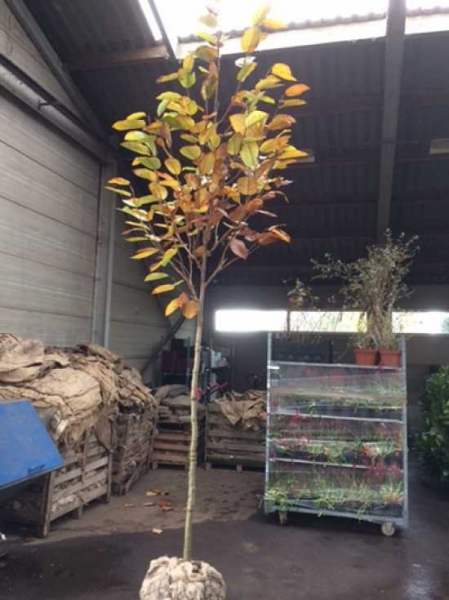 Magnolia sieboldii / Magnolia parviflora / Siebolds Magnolie / Sommer-Magnolie