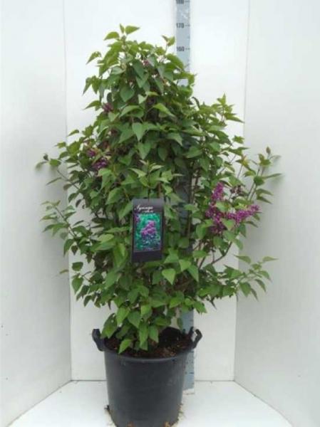 Syringa vulgaris 'Nadeshda' / Gartenflieder / Gewöhnlicher Flieder / Edelflieder 150-175 cm im 35-Liter Container