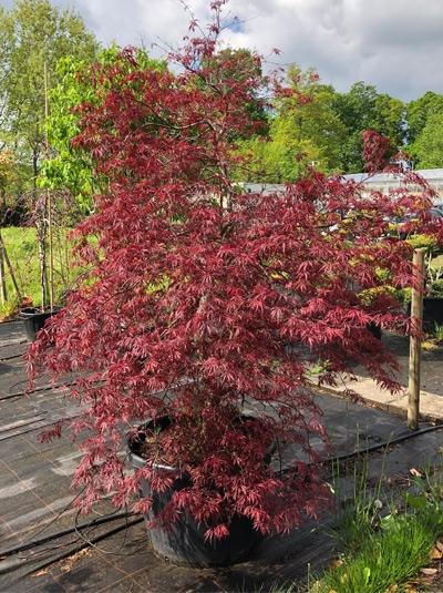 Acer palmatum 'Tamukeyama' / Fächer-Ahorn 'Tamukeyama' 200-250 cm (Einzelstück)