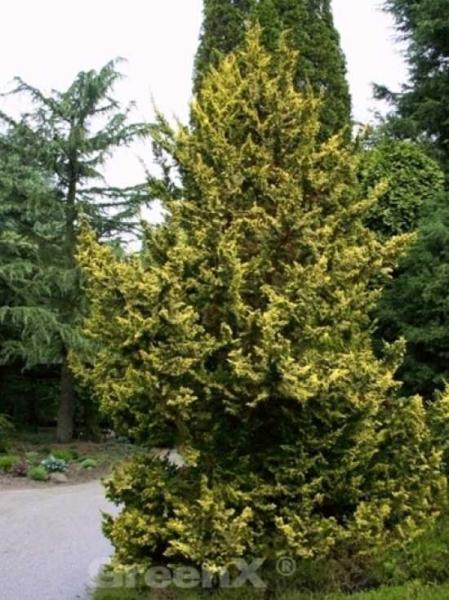 Chamaecyparis obtusa 'Tetragona Aurea' / Zwerg-Hinoki-Scheinzypresse