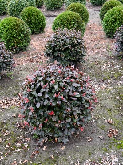Fagus sylvatica 'Purpurea' / Blutbuche 'Kugel' 70-80 cm mit Ballierung