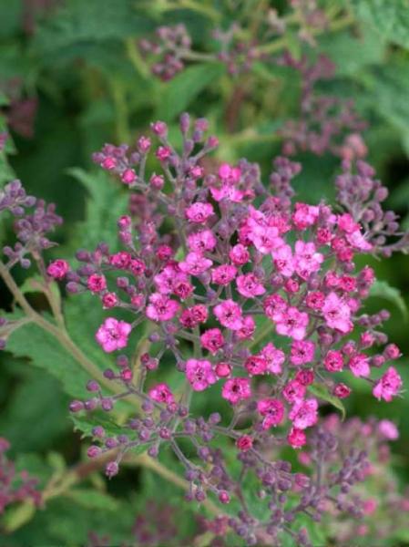 Spiraea japonica 'Crispa' / Krauser Spierstrauch / Spierstrauch 'Crispa'
