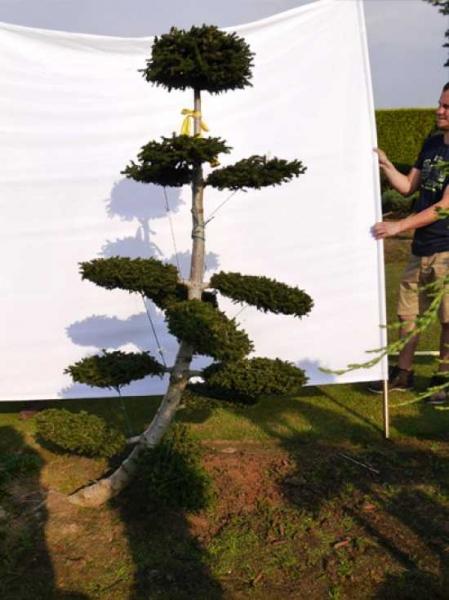 Picea orientalis 'Aurea' H: 200 cm B: 110 cm / Garten-Bonsai (0079)
