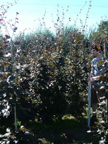 Fagus sylvatica 'Purpurea' / Blutbuche 175-200 cm mit Ballierung