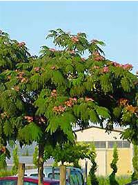 Seidenbaum