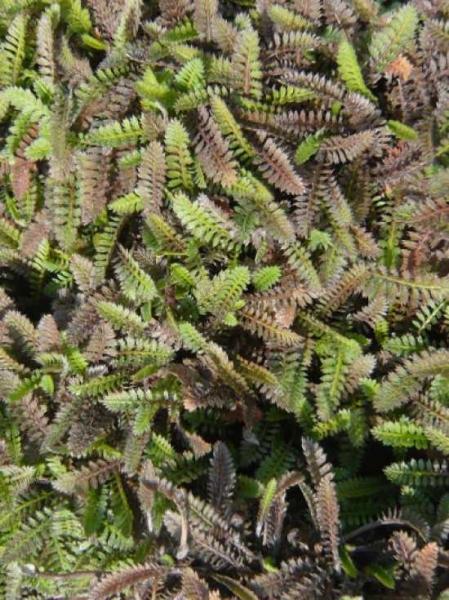 Leptinella potentillina / Feines Fiederpolster