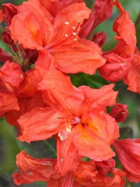 Azalea luteum 'Feuerwerk' (Knap-Hill) / Laubabwerfende Azalee 'Feuerwerk'