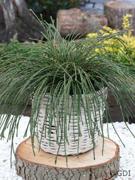Thuja plicata 'Whipcord' / Faden-Lebensbaum 'Whipcord'