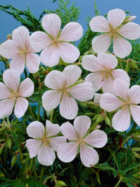 Geranium clarkei 'Kashmir White' / Kaschmir-Storchschnabel