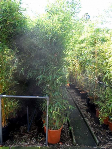 Phyllostachys aurea / Knoten-Bambus 200-250 cm im 30-Liter Container