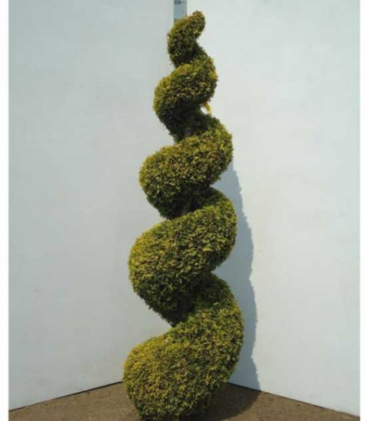 Thuja occidentalis 'Yellow Ribbon' H: 175-200 cm / Garten-Bonsai (23000)