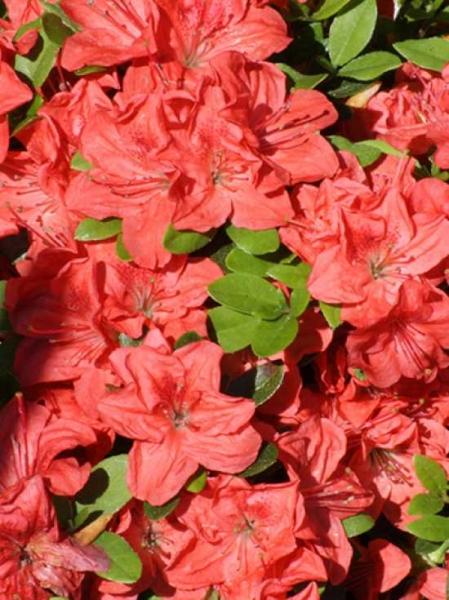 Rhododendron obtusum 'Bine' / Japanische Azalee 'Bine'