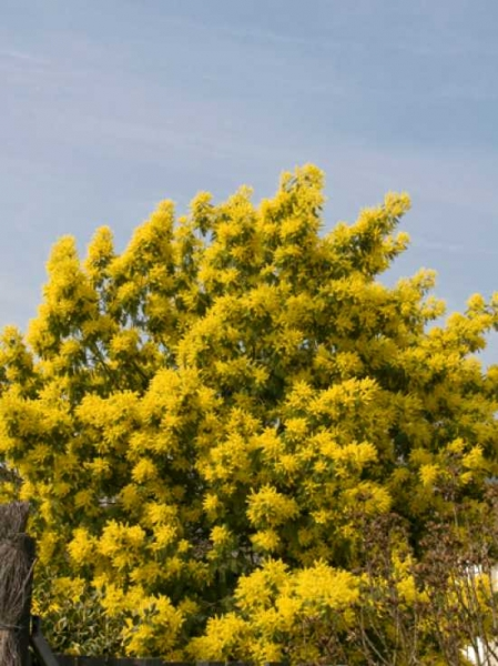 acacia dealbata silber akazie falsche mimose g nstig bestellen baumschule new garden. Black Bedroom Furniture Sets. Home Design Ideas