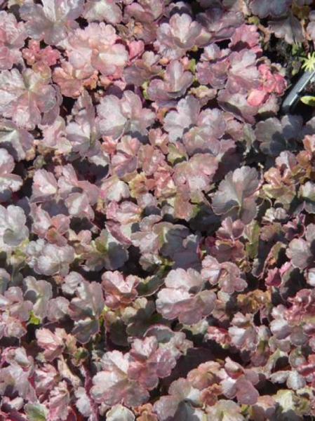 Heuchera micrantha 'Petite Pearl Fairy ®' / Purpurglöckchen